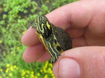 Su Kaplumbağası Nasıl Beslenir?